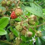 Grow Raspberries Home Anything