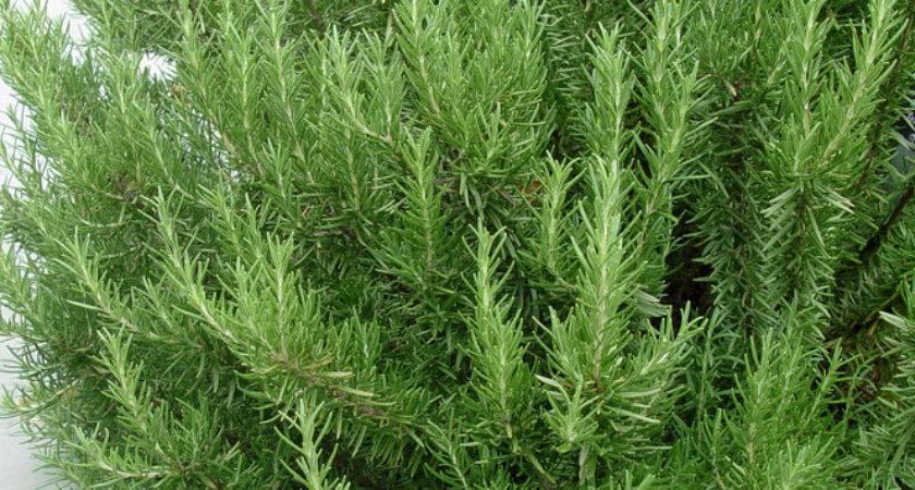 Grow Rosemary Plants Inside Over Winter Pennlive