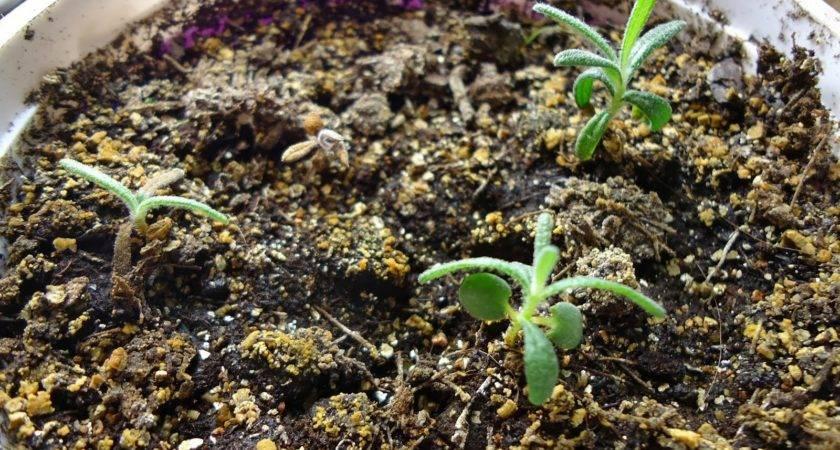 Grow Rosemary Seed Garden Eaden