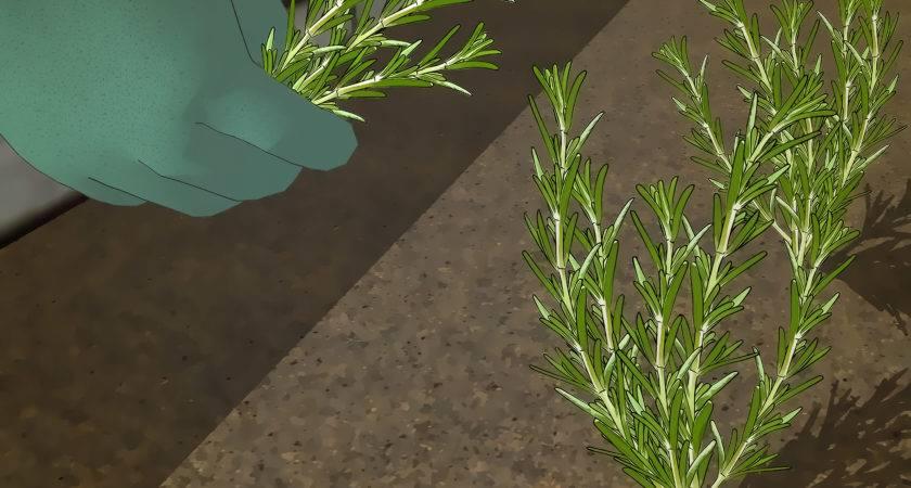 Grow Rosemary Steps Wikihow
