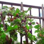 Grow Your Own Berries Landscaping Ideas Hardscape Design