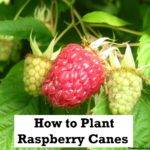 Grow Your Own Food Plant Raspberries Raspberry Canes