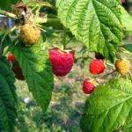 Growing Organic Raspberries Steps Take Home Gardening