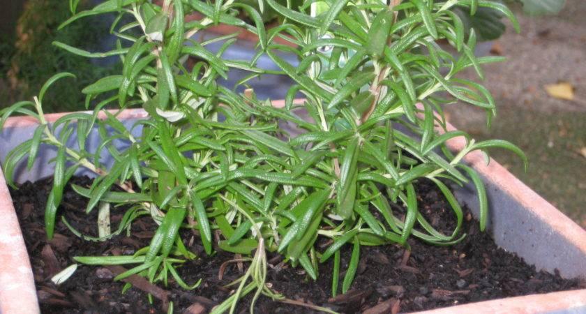 Jennie Veggies Grow Rosemary